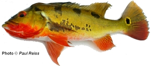Cichla monoculus - note the 3 vertical bars
