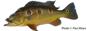 Cichla orinocensis - note the 3 rosettes