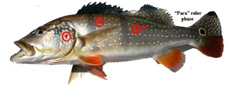 Cichla temensis