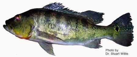 Peacock Bass - Cichla Nigromaculata